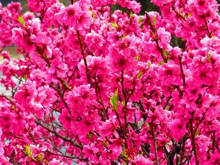 昼神温泉 花桃2