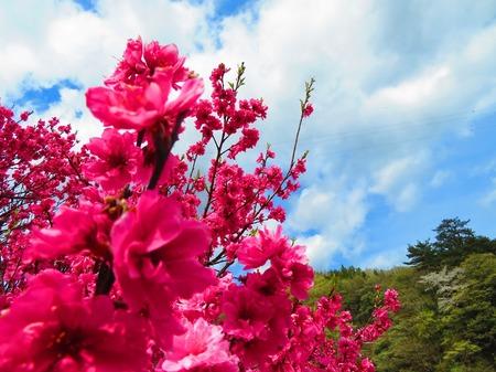 昼神温泉 花桃3
