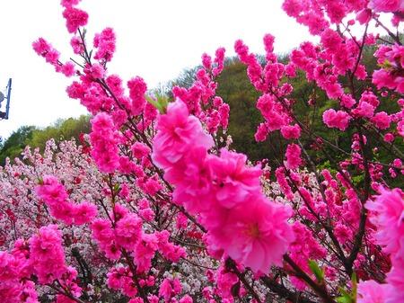 昼神温泉 花桃5